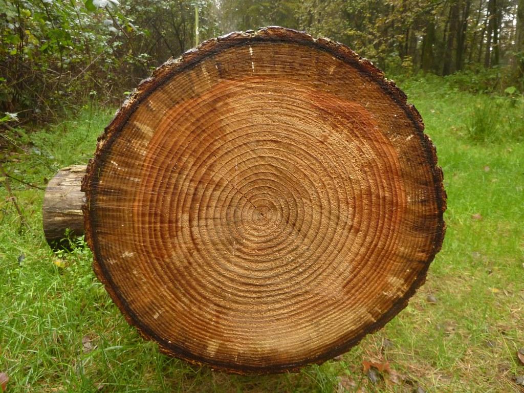 Jahresringe Wie Alt Ist Der Baum P1010753 Von Sofiligra Chironius Flickr