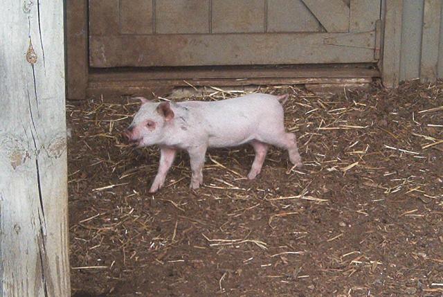 Baby pig in the children's farm.