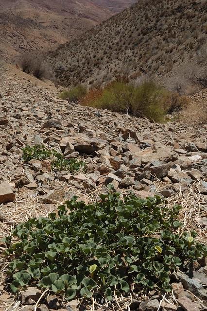 Flores carnívoras en Quebrada de  Inkahuasi