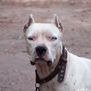 Dogo Argentino   by Gustavo Nudo (Guslight)