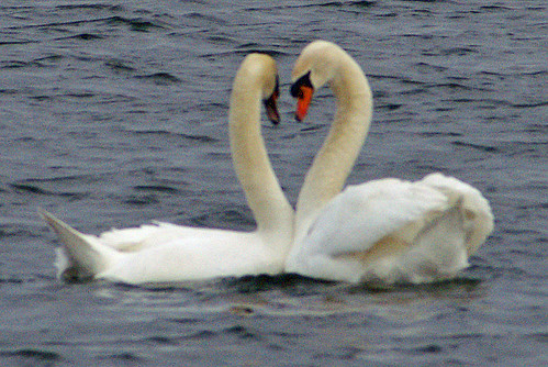 Swans in Love | by Dave Hamster