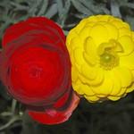 毛茛科 毛茛屬 陸蓮花 (深紅) 梅峰