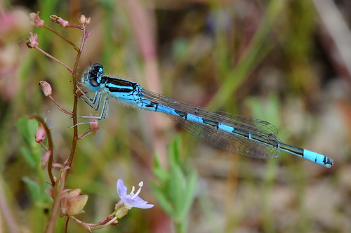 Dainty Damselfly- Coenagrion scitulum | by linanjohn