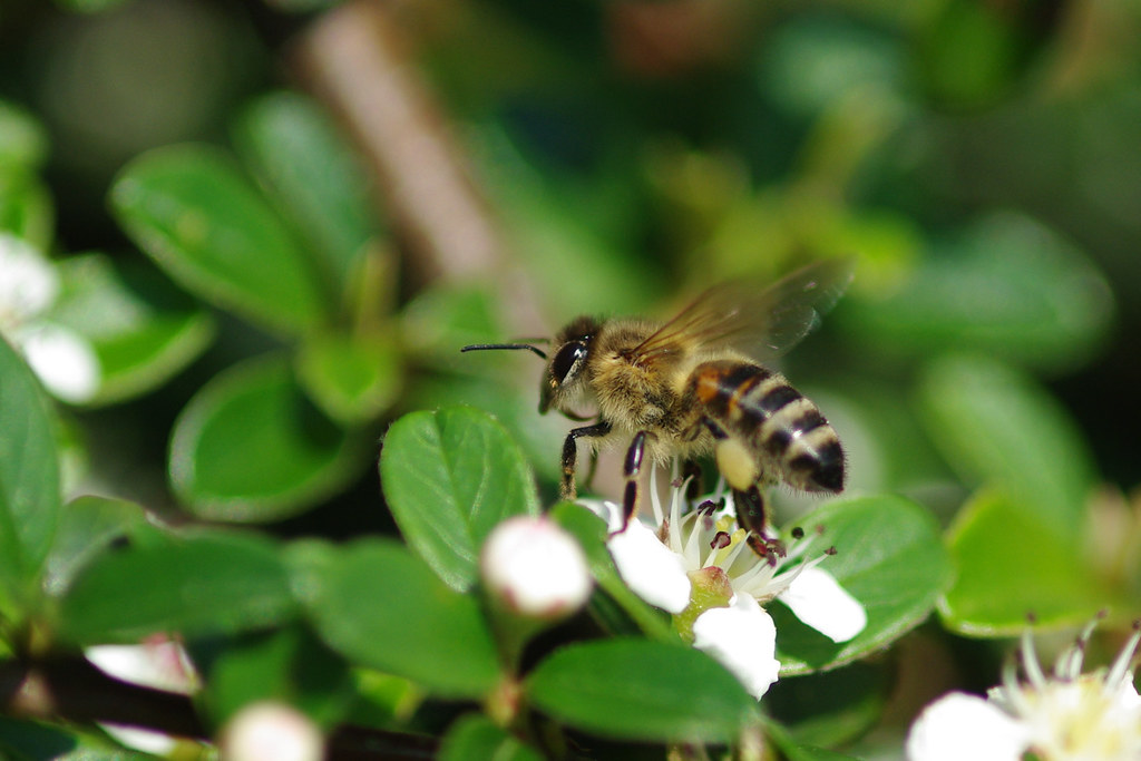 Pszczoła / Bee