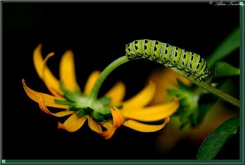 searchthebest vivid caterpillar chenille naturesfinest specnature mywinners colorphotoaward impressedbeauty isawyoufirst frhwofavs naturewatcher excapture