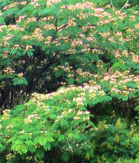 At_CJL_mimosas   Mimosa Trees in bloom in CLoudland ...