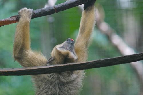 Black Howler Monkey Hanging #4 | by poplinre