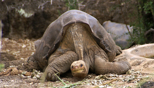 Lonesome George Pinta giant tortoise Santa Cruz   by putneymark