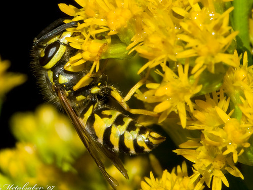 Yellow Jacket Macro | by metalsaber