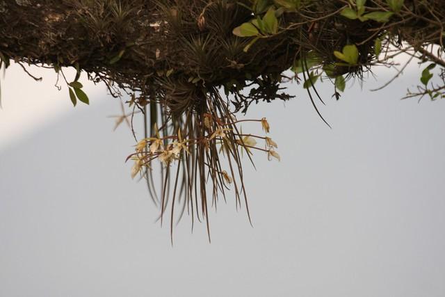 Brassavola tuberculata - in situ - 1
