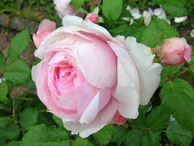 Geoff Hamilton rose