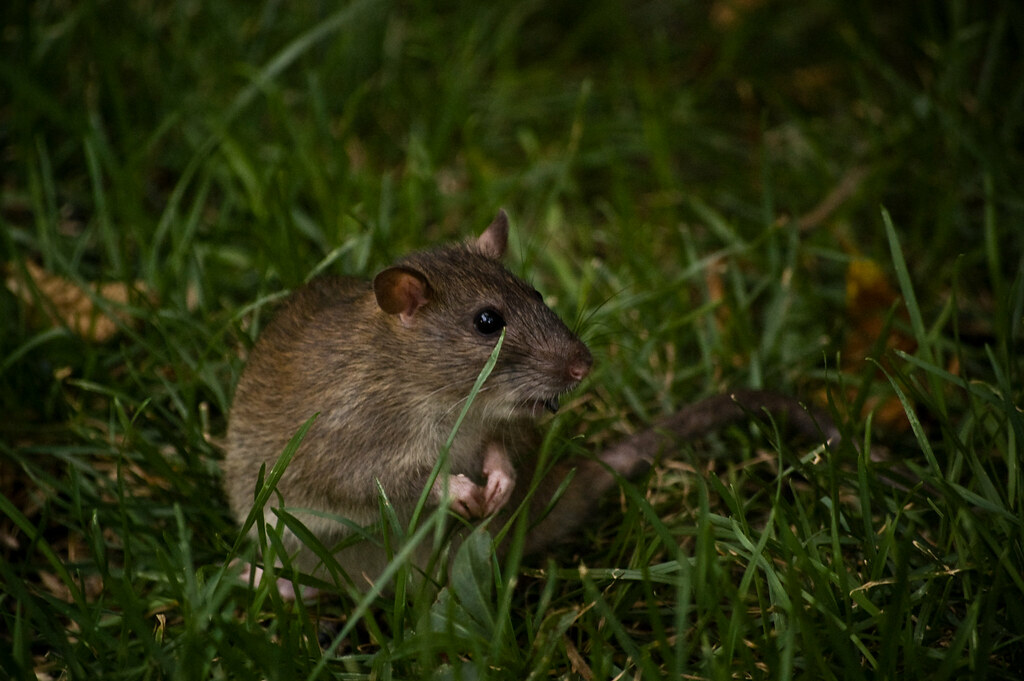 Rat or Mouse?