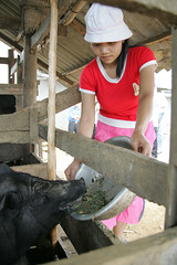 May/2007 - Farmer Ma Thi Puong feeds her pigs on her  farm near the northern town of Mieu Vac, Vietnam (photo credit: ILRI/Stevie Mann).