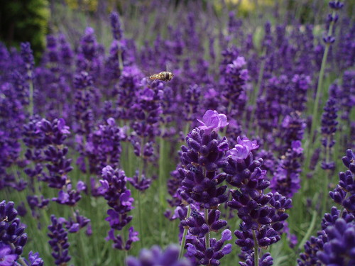 Flying Over Lavender | by Limbo Poet having a break for a while