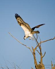 Osprey lost his lunch