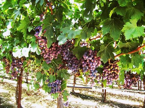 california trip shadow green leaves vines san tour purple farming valley views grapes edible sanjoaquin excursion centralvalley ripe productive sightsee joquin