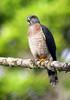 Double-toothed Kite (Harpagus bidentatus) by sparverius81