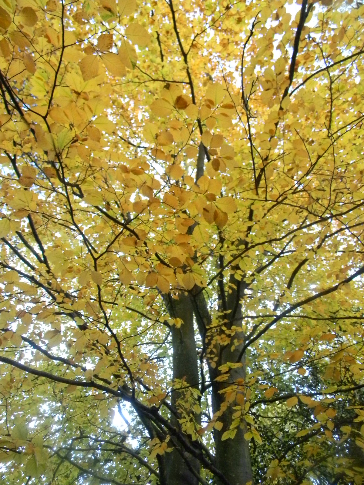 Yellowing beech Milford to Haslemere
