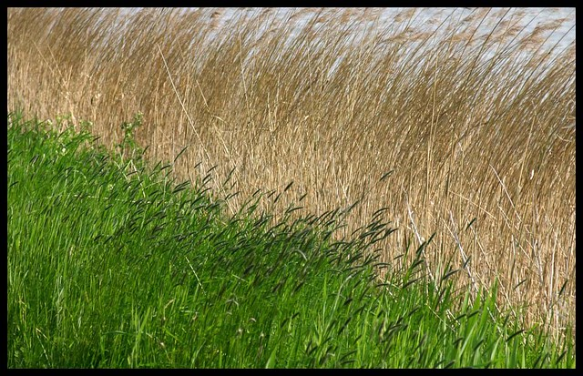 Grass and reed