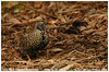 Black-breasted Buttonquail by aviceda