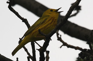 yellow warbler ~ Dendroica petechia | by Kevin Kodak