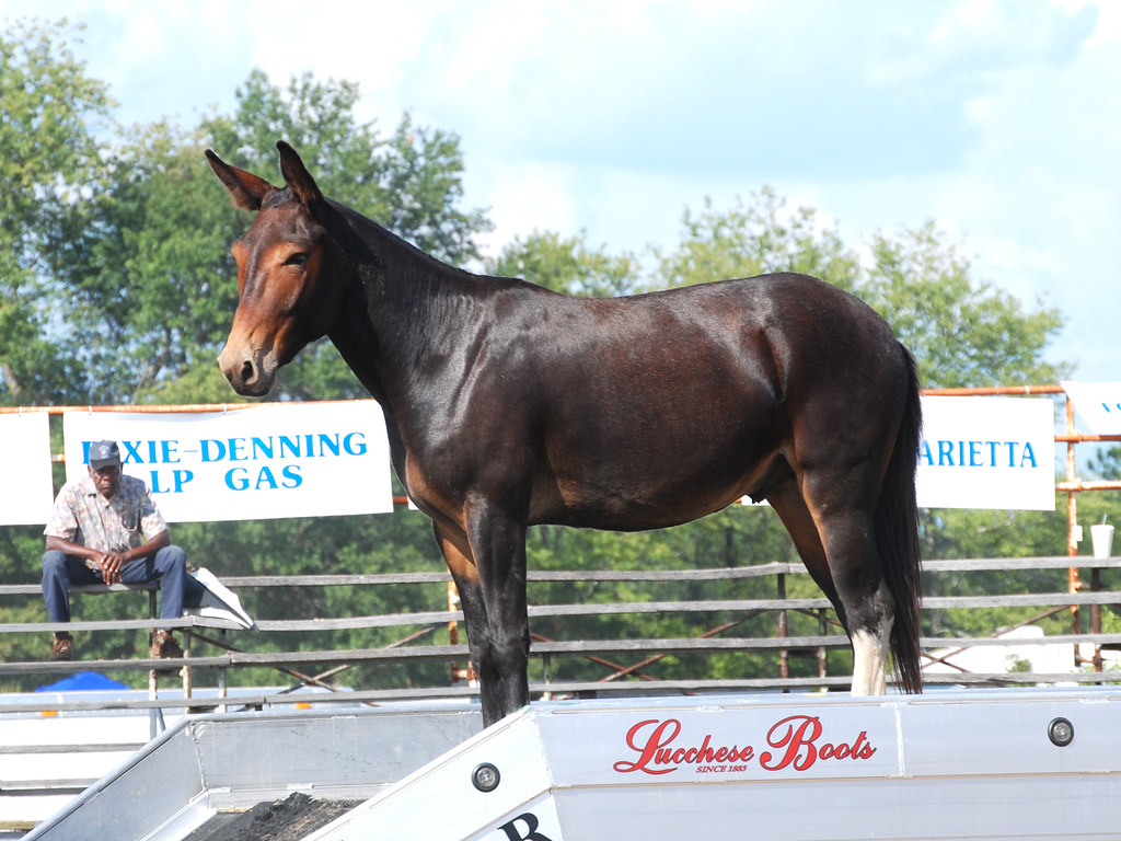 Mule Mule Days In Benson Nc Had A Great Rodeo Last Saturda Flickr