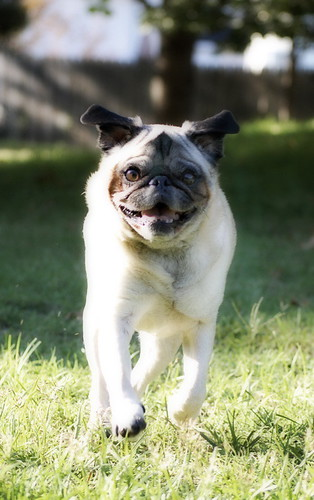 pug-a-lug in motion | by foxrosser