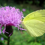 Thistle and yellow butterfly