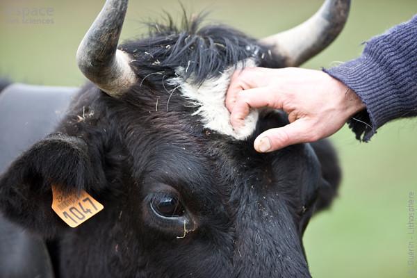 Biodiversité-Vache