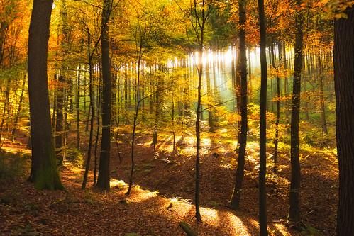autumn trees fall leaves forest germany geotagged licht laub herbst 1750 wald bäume baum deu rheinlandpfalz magicforest 50d zauberwald tamron1750 canoneos50d steinebachsieg biesenstück geo:lat=5073669833 geo:lon=783431667