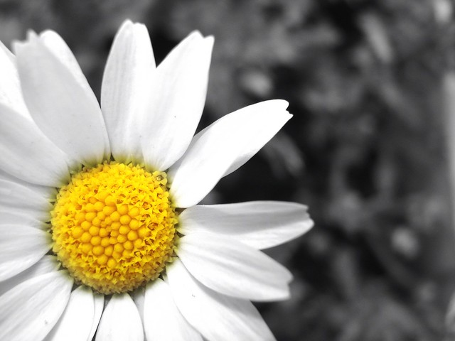 The Delicate Yellow Centred Daisy