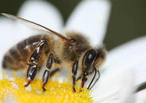 Honey bee | by Deanster1983 who's mostly off