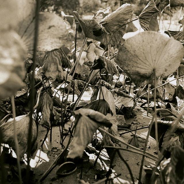 Fading Lotus