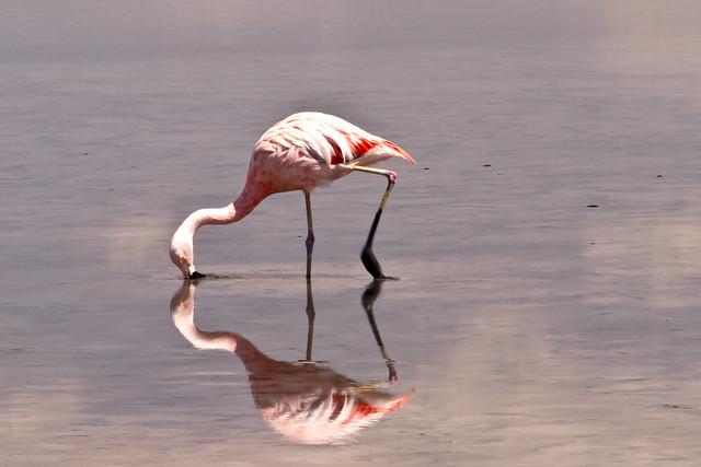Flamingo, Salar Atacama