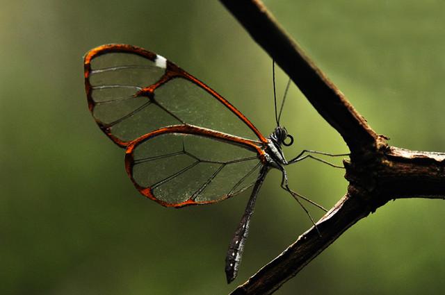 Mariposa de Cristal / Mariposa Vitral / Mariposa Espejitos / Greta diaphana (Subespecie quisqueya, Sourakov A. and T. C. Emmel, 1995 ) / Glasswing / Hispaniolan Clearwing Butterfly /Greta diaphana  (subespecie charadra,  Schwartz, 1982 )