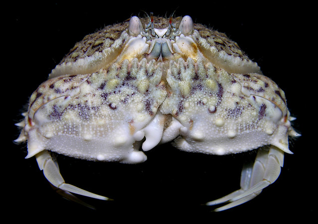 Box crab (Calappa cf galloides) from Bocas del Toro