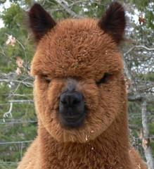 Alpaca or ewok?! | by Walnut Creek Alpacas
