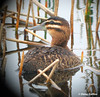 Masked Duck (Nomonyx dominicus) by Odephoto