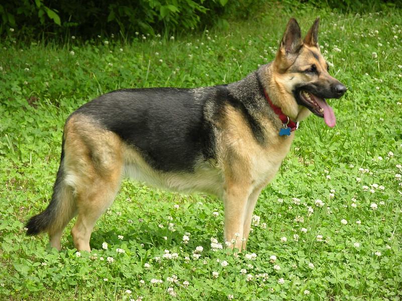 shepherd dog breeds german shepherd