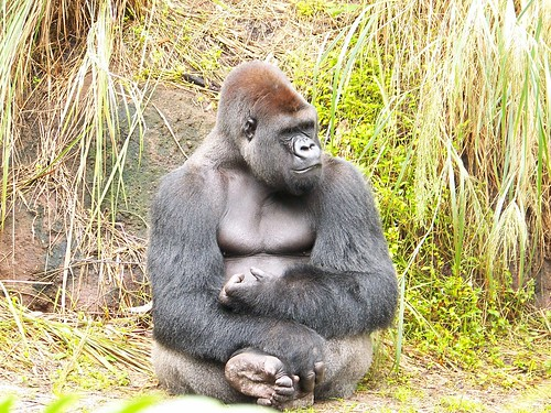 Gorilla | by Allison Harger