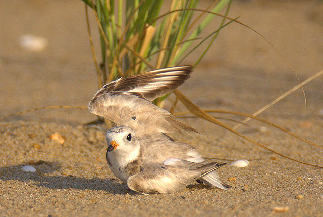 Piping Plover Wing Display (Critically Endangered Species)