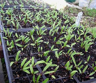 Beetroot seedlings | by organic maven