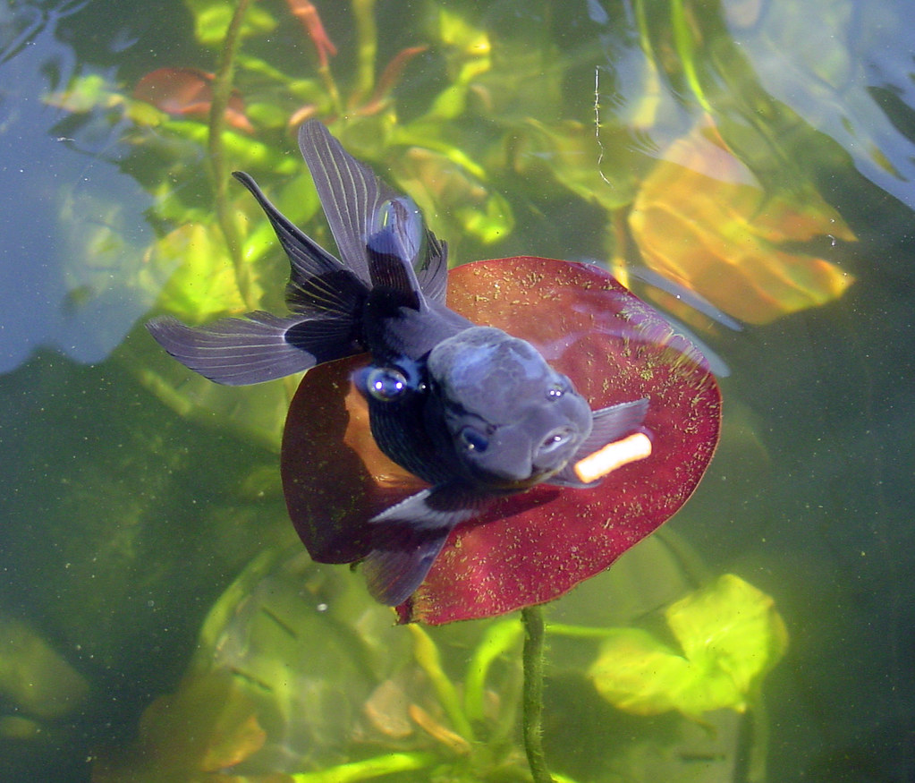 DSC07886 | Goldfish Pond 2007  blue oranda after a food pell… | Flickr