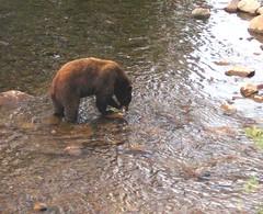 Brown Bear with fish at Mammoth Lake, California | by moonjazz