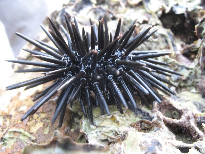 紫海膽 (Short-spined Sea Urchin)