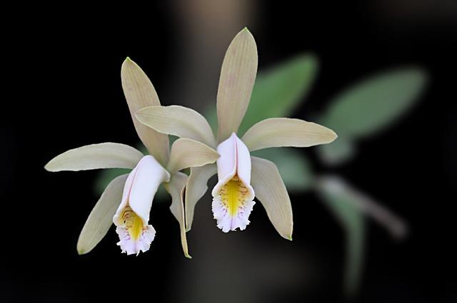 Cattleya forbesii Lindl.