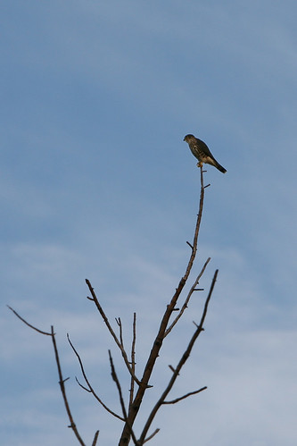 moon bird sunrise raptor merlin eos5d laurelhillcemetery canonef70200mmf28lisusm fitchburgma