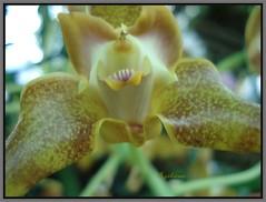 DSC02048 Orchidee