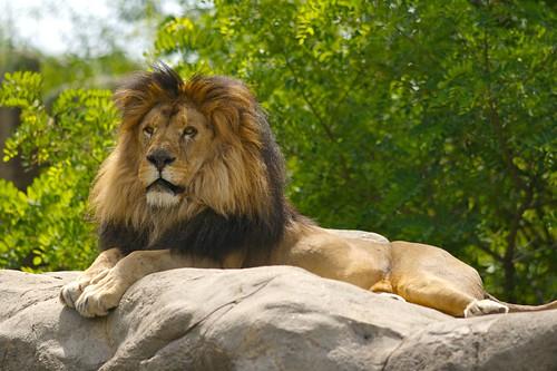 King Lion #4 | by poplinre