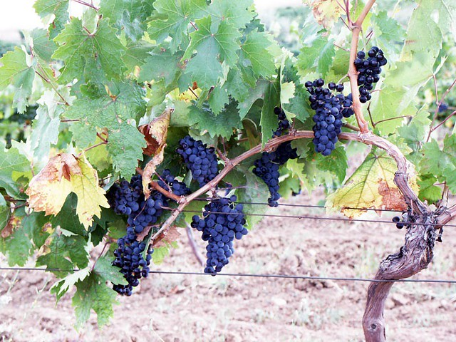 Kalecik Karası Grape-vine (Kalecikkarasi)